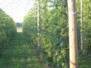 Brewery Farm Hop Garden
