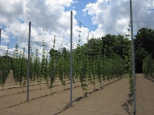 Hop Garden - Ramblin' Road Brewery Farm