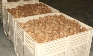 Potatoes at the Brewery Farm