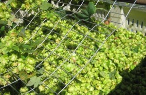 Ramblin' Road farm grown Hops