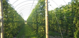 Hop Rows at the Brewery Farm